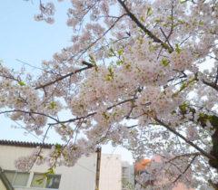 さくら~♪桜~♪SAKURA~♪